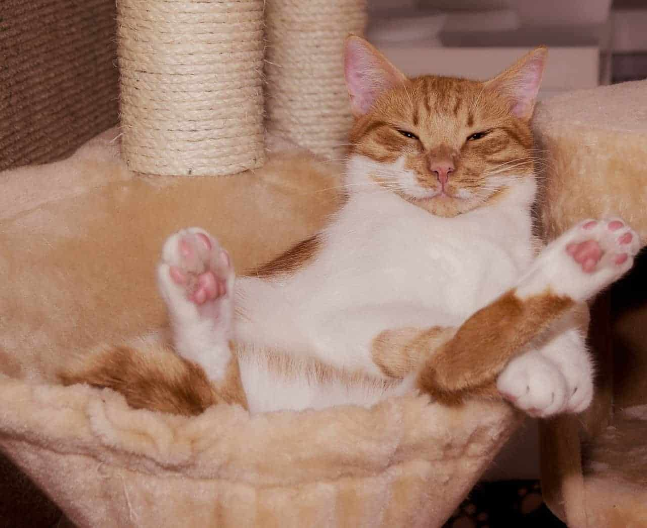 Should You Trim the Hair On A Cat's Paws?