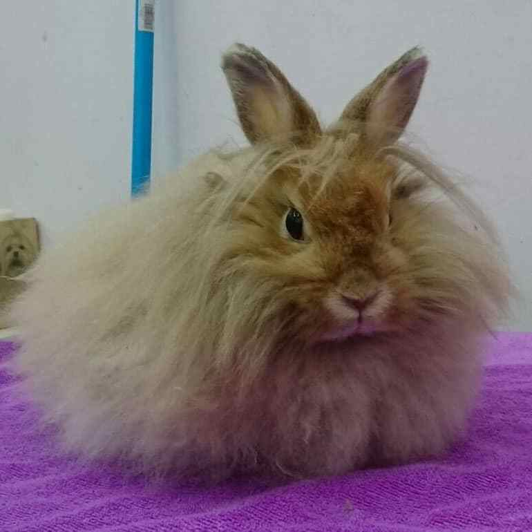 local tips for at home rabbit groomers in Singapore